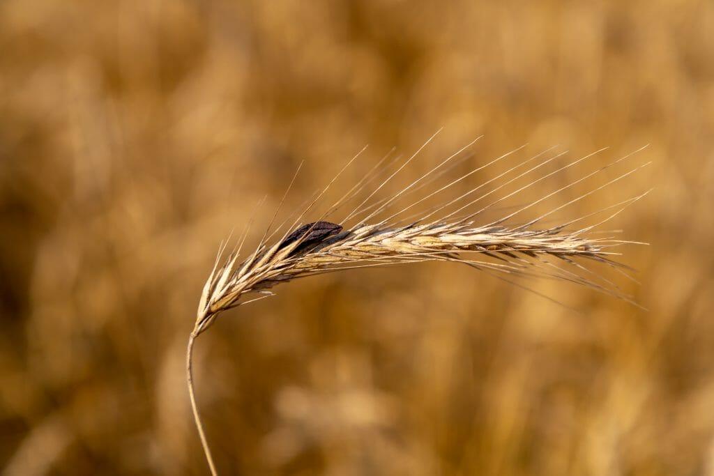 photo of ergot fungus growing on rye